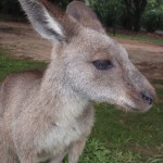 Closeup of Kangaroo