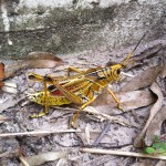 Eastern Lubber Large Yellow Grasshopper