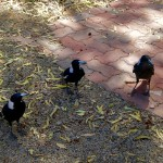 Three birds - magpies - looking at the camera from brick ground