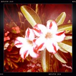Artistically done faded picture of red and white flowers