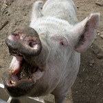 A pig with his mouth open and muddy snout