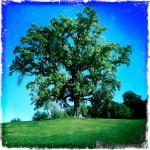 Artistically done single large tree with bright blue sky and grass