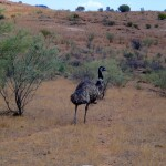 Emu running in the outback in Australia