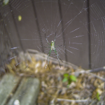 Green Spider on it's web