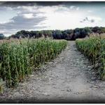 Corn fields in NJ