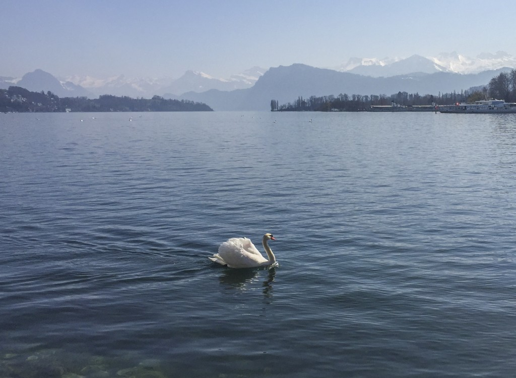 Swan on the lake Luzern
