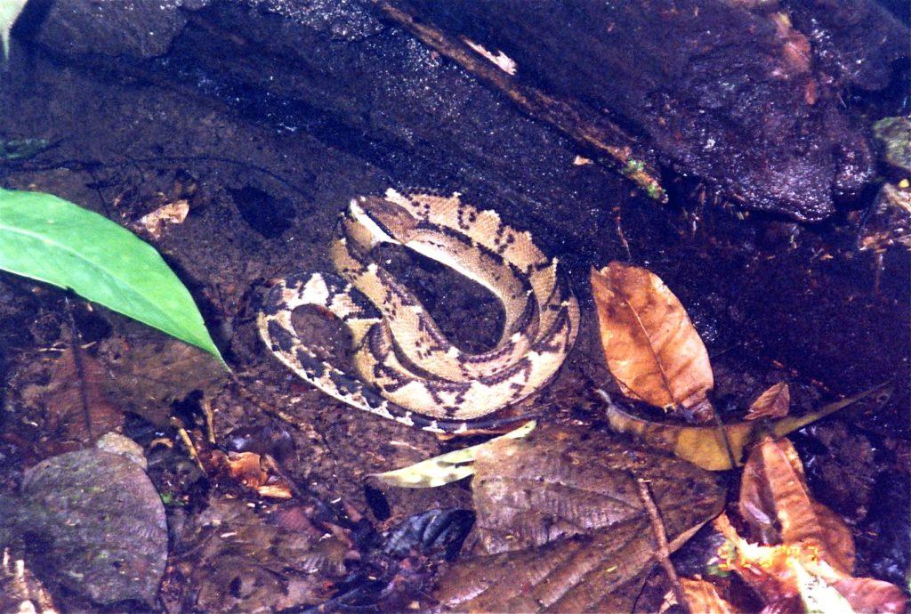 Costa Rica Bushmaster Snake