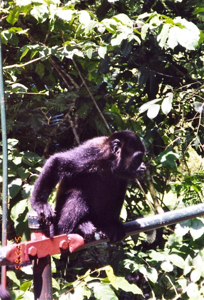 Costa Rica Howler Monkey on Bridge 3
