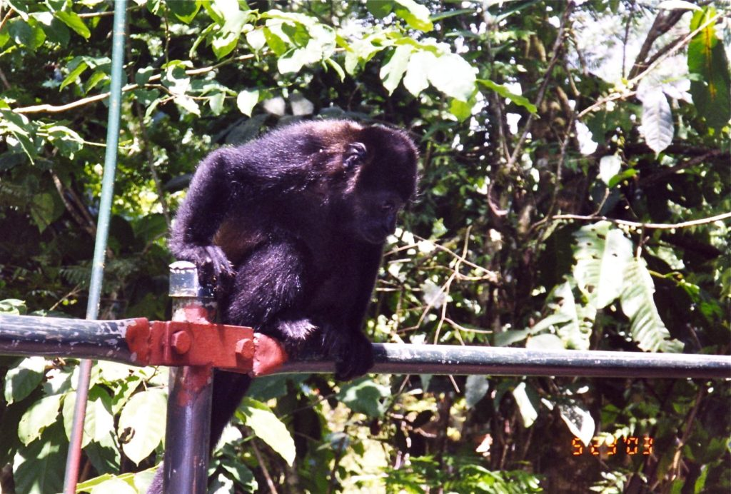 Costa Rica Howler Monkey on Bridge 4