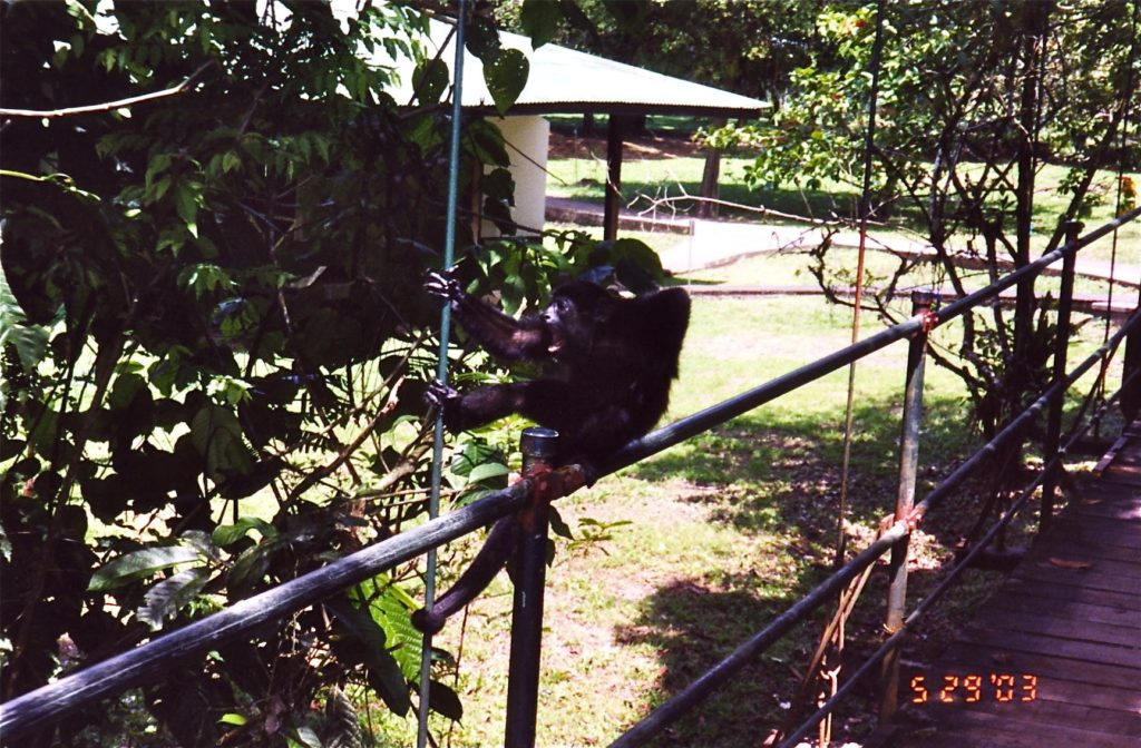 Costa Rica Howler Monkey on Bridge 5
