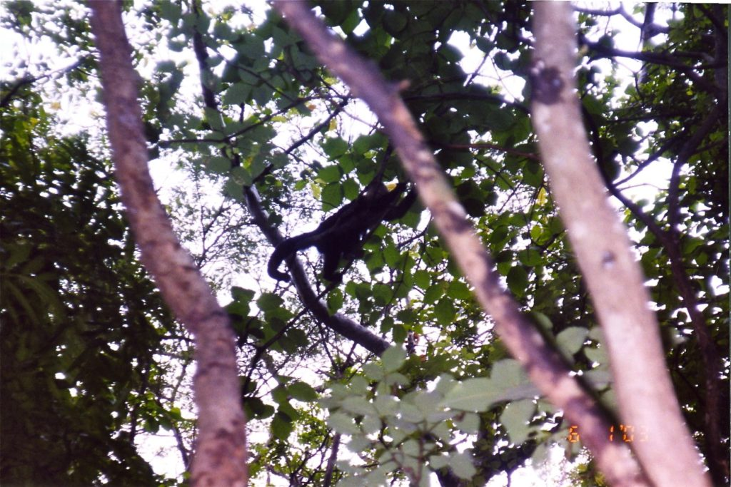 Costa Rica Howler Monkey in the tree 2