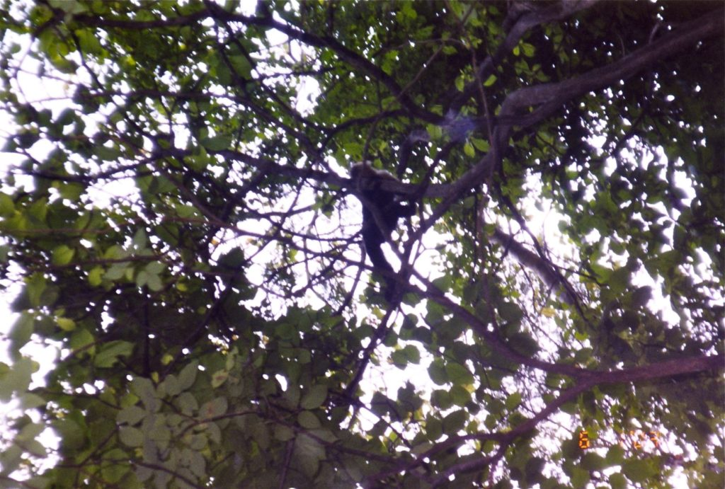 Costa Rica Howler Monkey in the tree 3