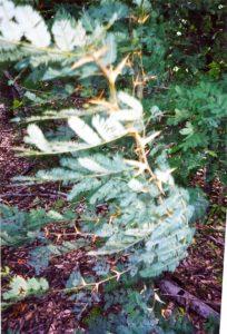 Acacia tree - Pale Verde
