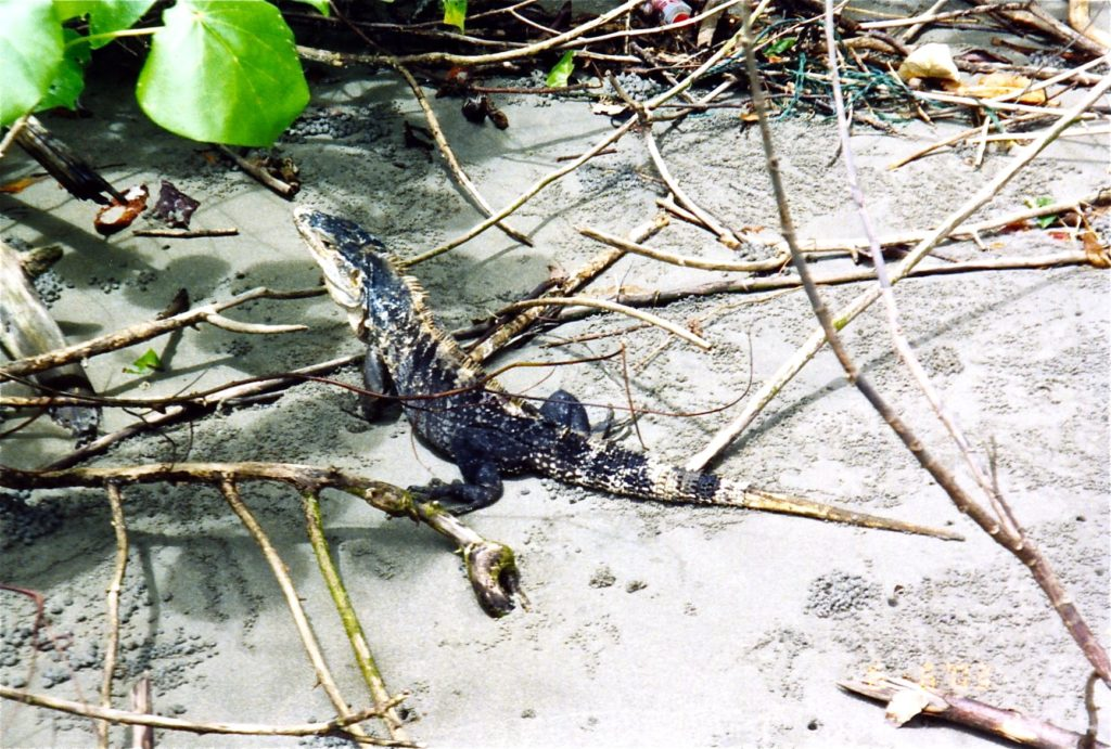 Beach rainforest - Manuel Antonio Lizard