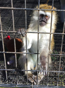 Monkey reaching arm out of cage