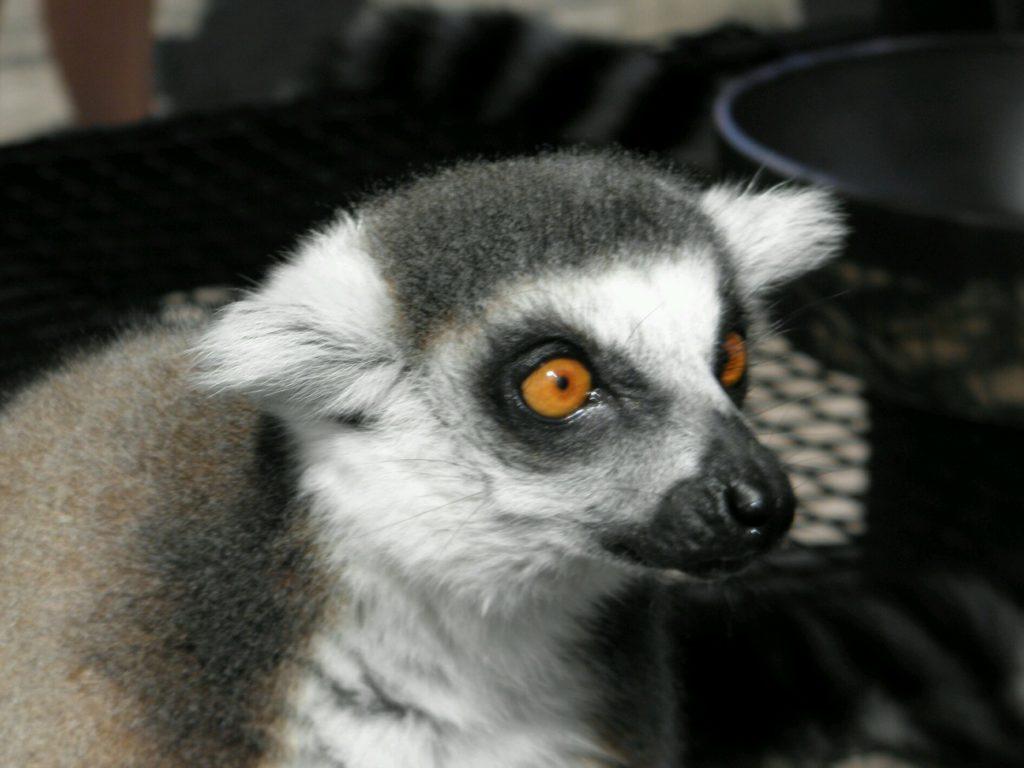 Lemur closeup - piercing red eyes
