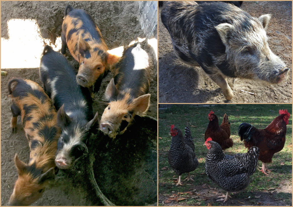 chickens and pigs and piglets, oh my!