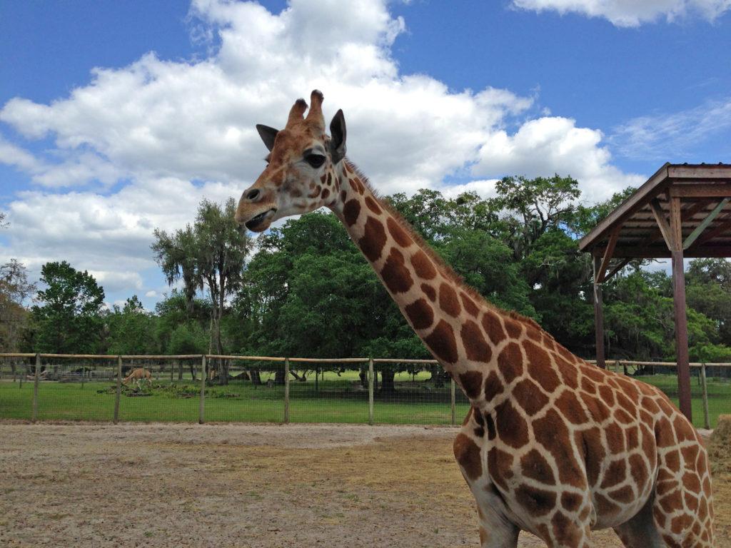 Giraffe grazing toward the future