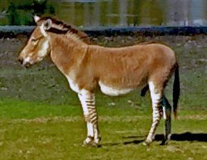 A Zedonk - part donkey, part zebra