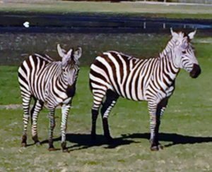 Two normal looking zebras