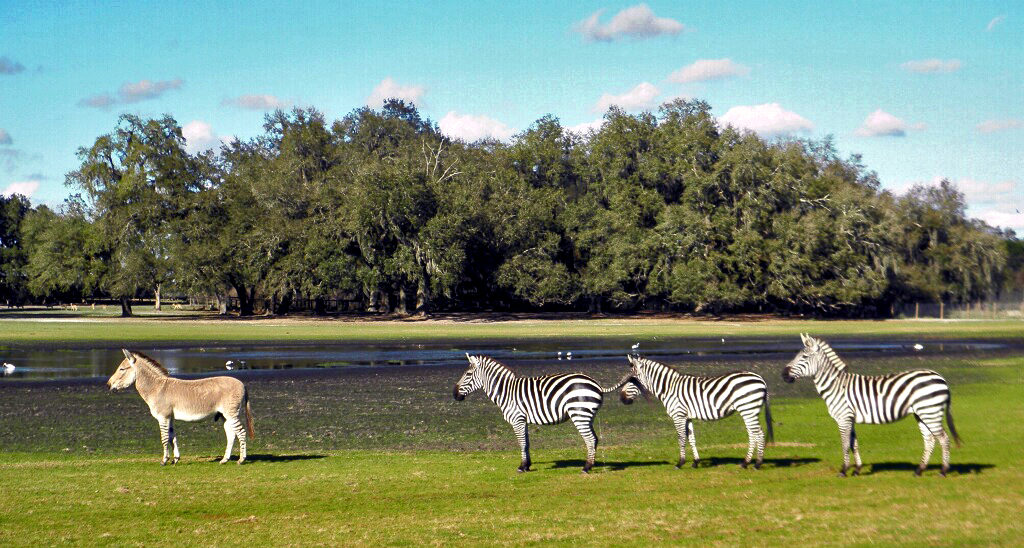 Zebras with one odd looking zedonk leading the herd
