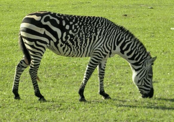 Trippy zebra stripes