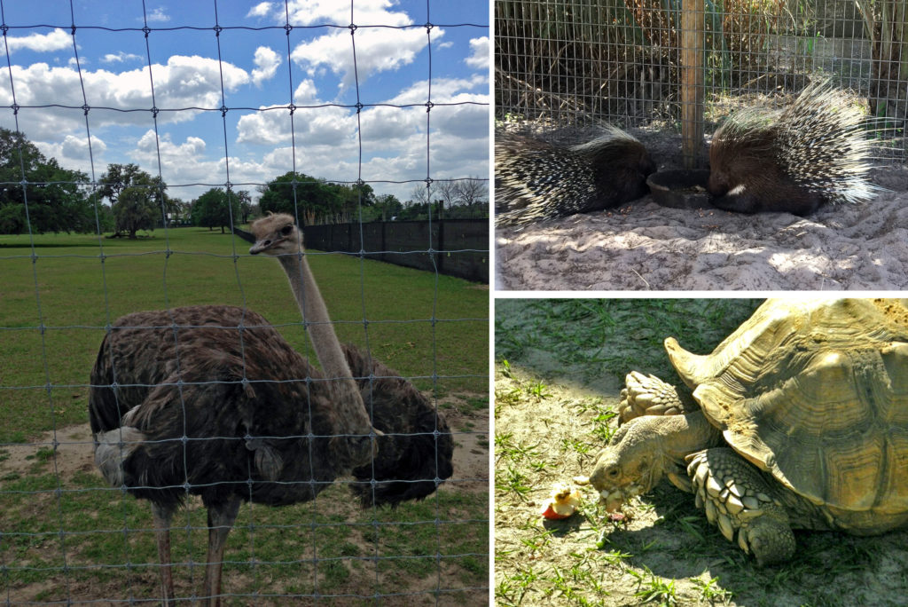 An ostrich with blue sky, a tortoise eating an apple, and two porcupines