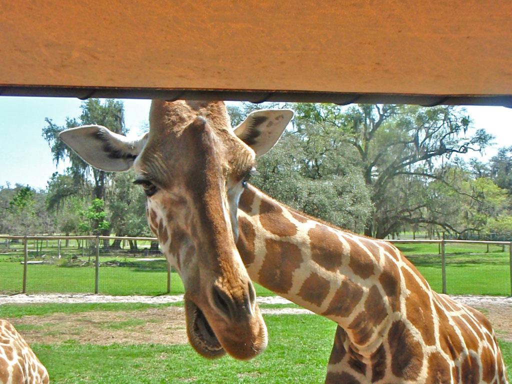 Giraffe looking for goodies
