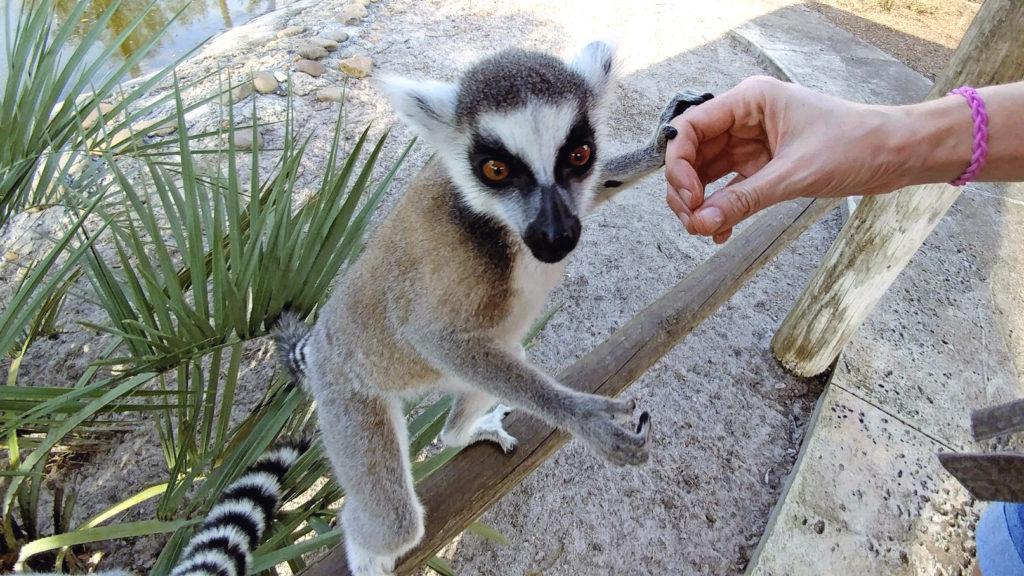 Lemur holding my hand
