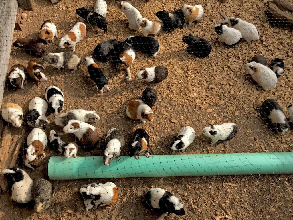 swarm of guinea pigs