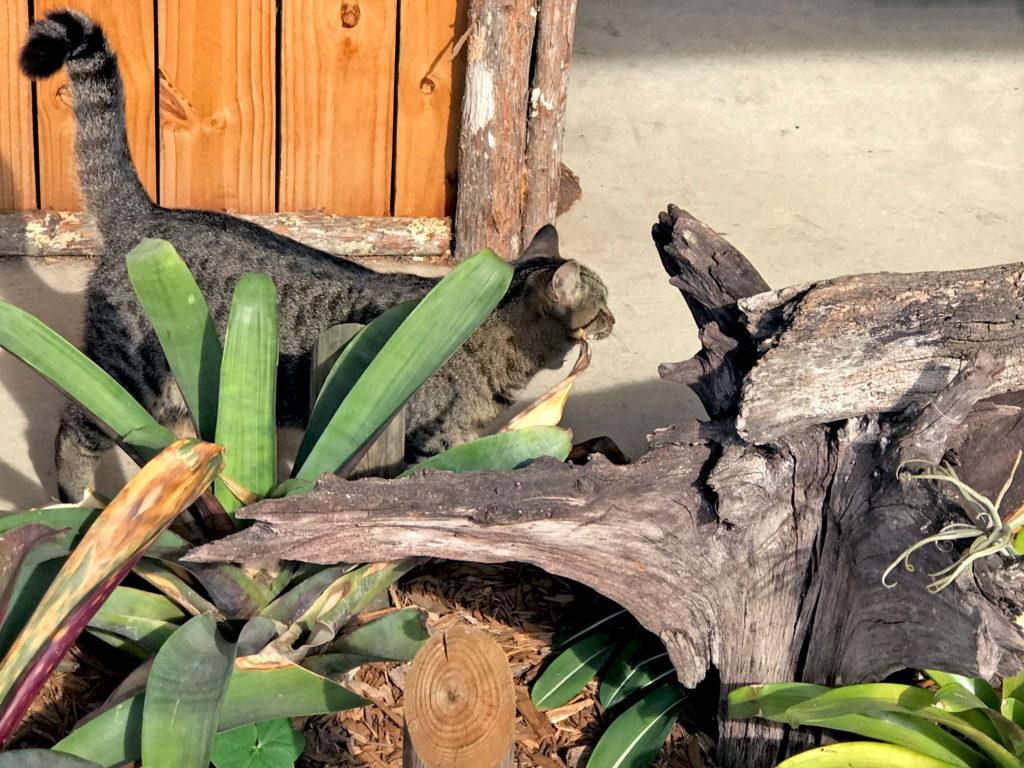 cat snooping around guinea pig pen