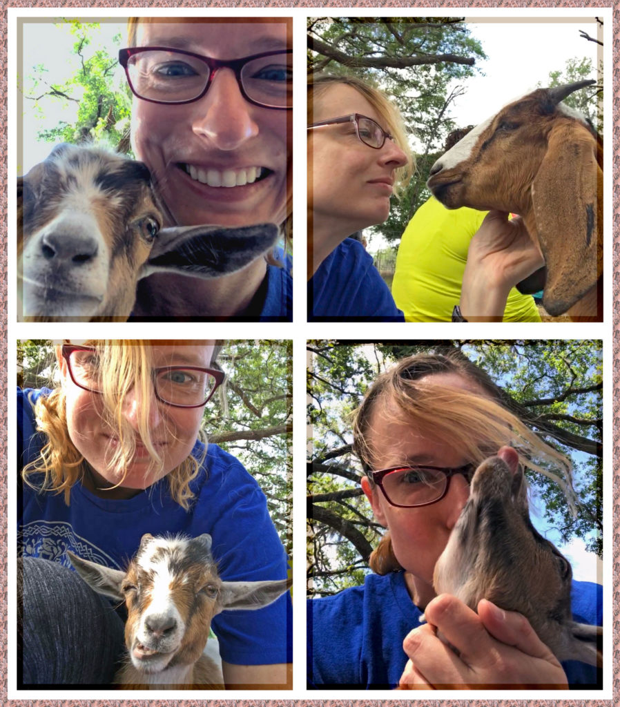 Four pictures of goat selfies, including one trying to eat my hair