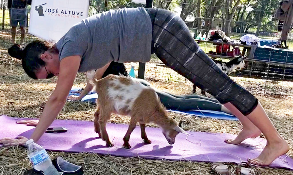 Attempting Downward Dog with a goat underneath