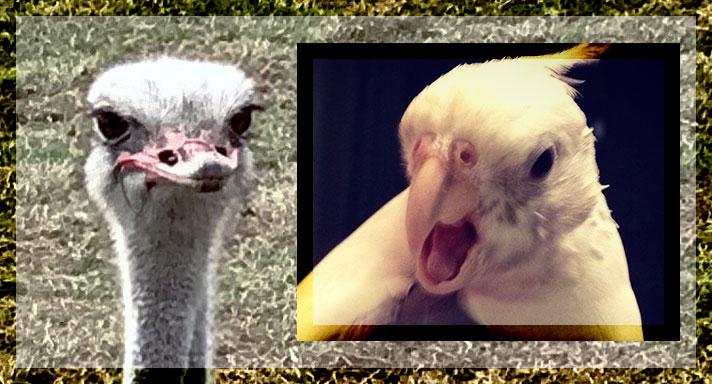 Ostrich vs cockatiel