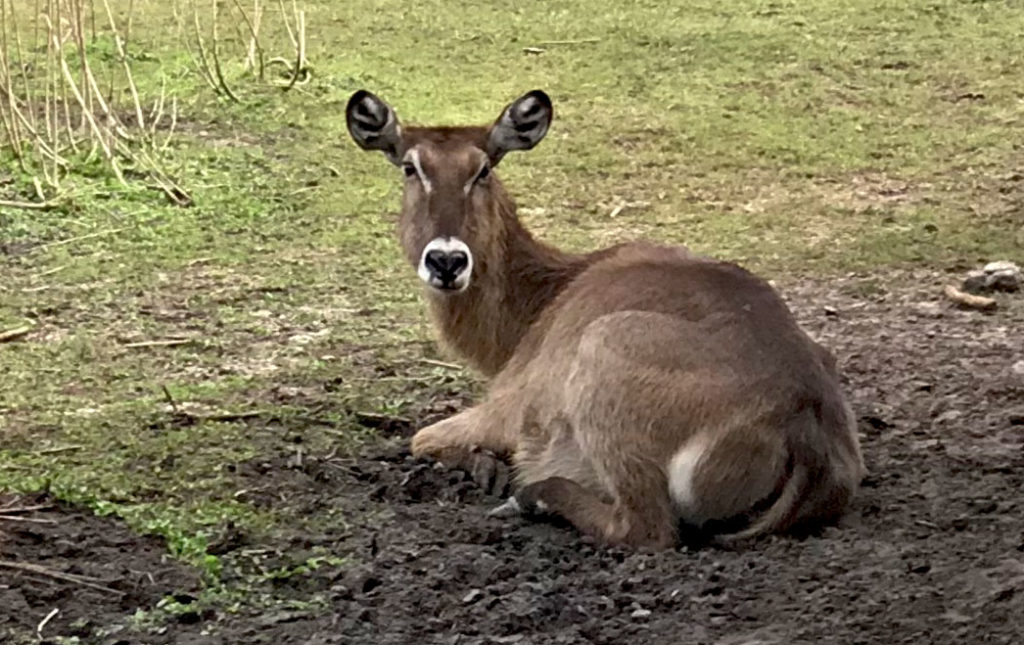 A female waterbuck sitting in shade looking at us