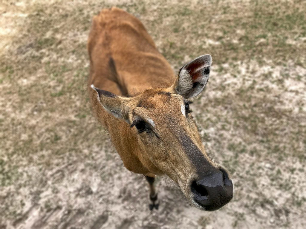 Nilgai looking for a handout
