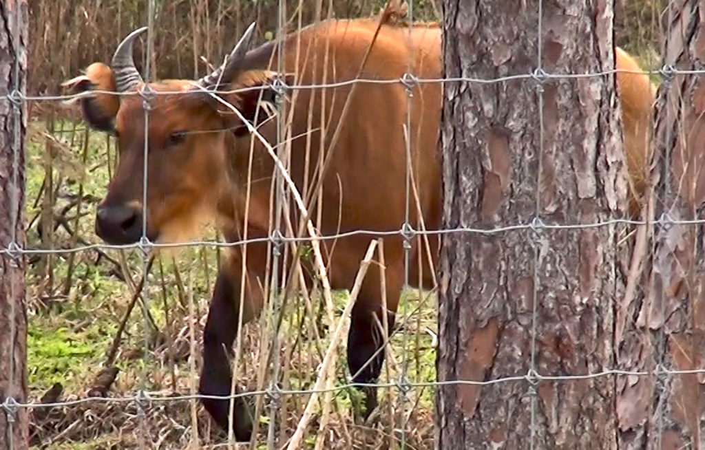 Forest buffalo in trees