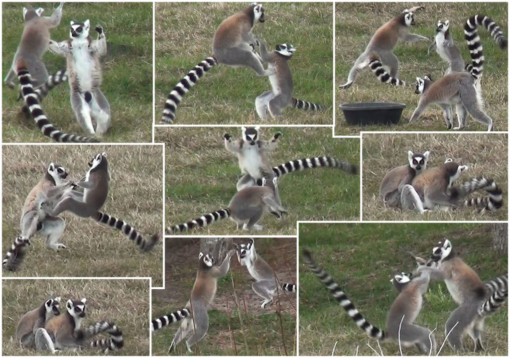 Lemurs having fun playing
