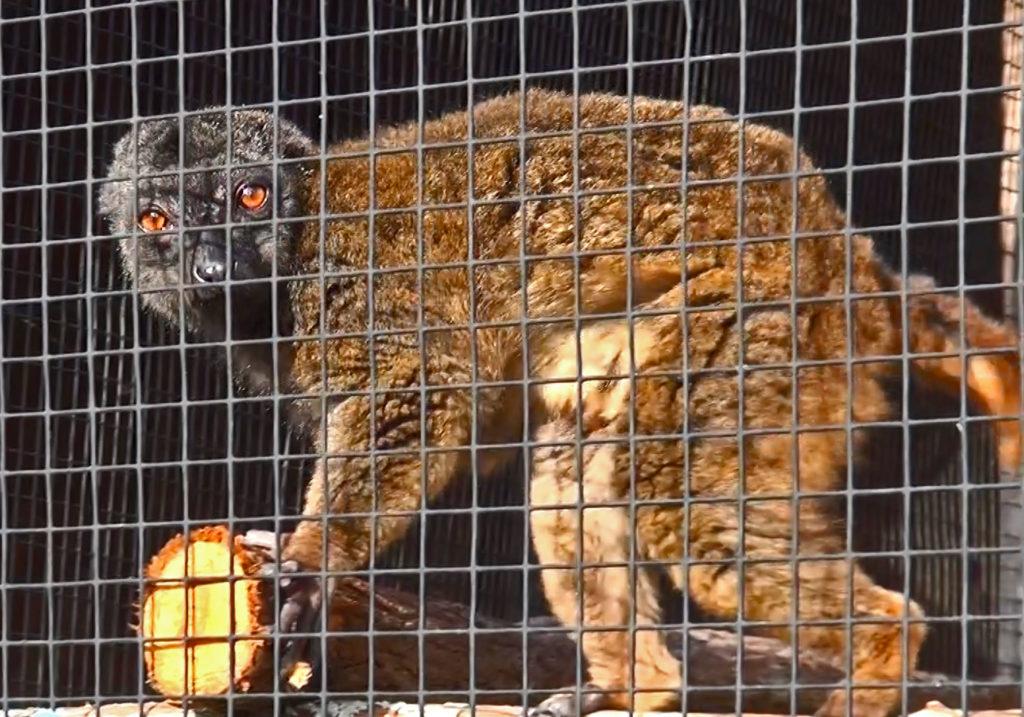 Chocolate lemur