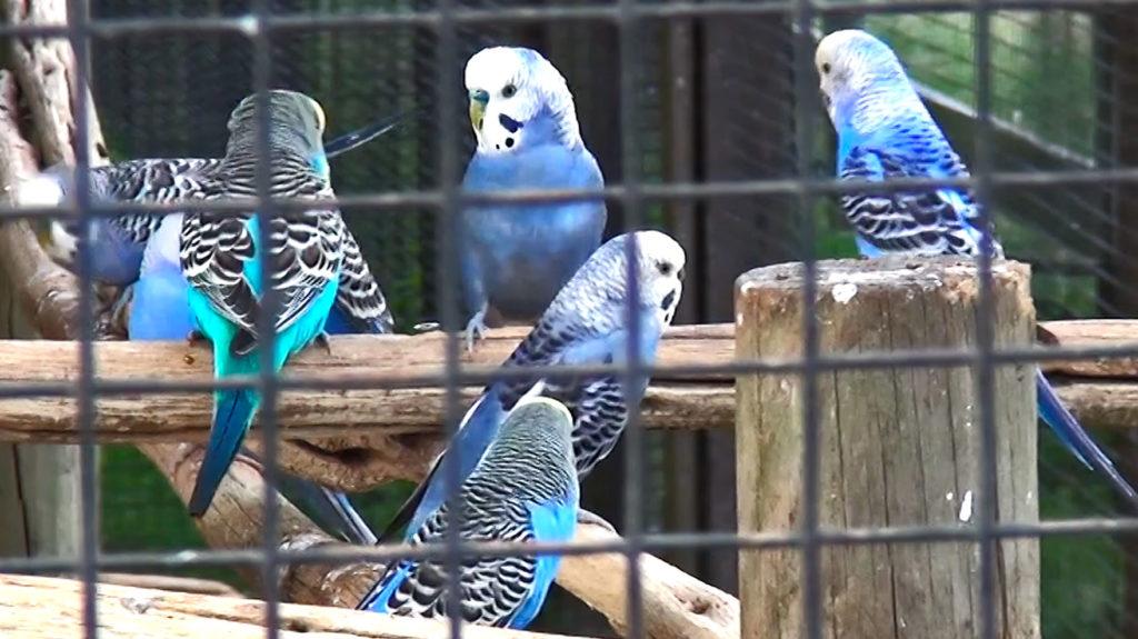 Parakeets or budgies